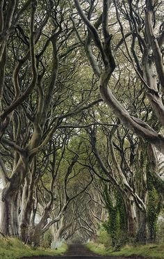 The dark hedges.  These beautiful beech trees are around 300 years old. They line Bregagh Road near Armoy in Northern Ireland.