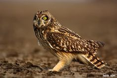 Short-eared Owl (Asio flammeus). Photo by Tejas Soni.