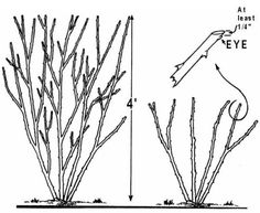 Best Time For Pruning Roses, When To Prune Roses, Time To Prune Roses