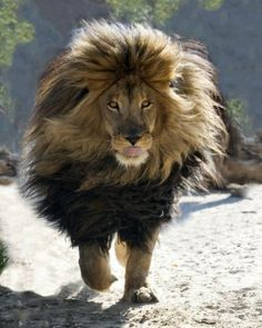 Fabulous and gorgeous lion walking