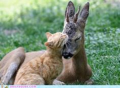 Deer and a cat shows that unconditional love and true friendship can form even from enemies in nature.