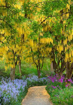 Labernum canopy, VanDusen Botanical Garden, Vancouver, BC, Canada