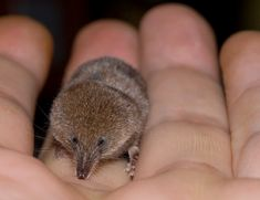 """Etruscan Shrew - Smallest mammal on Earth by weight (.06 oz, the same as a dime), 1.5"""" long (not counting tail)."""