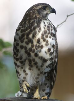 African Goshawk (Accipiter tachiro) is a species of bird of prey in the Accipitridae family.