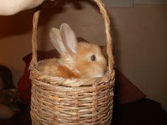 Baby angora bunny