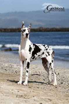 Harlequin Great Dane. It's a cow, no it's a horse, no it's a Great Dane..   So beautiful