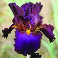 Comanche Acres Iris Gardens - Gower, MO - Mojo Tall Bearded Iris