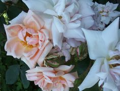 gabriel noyelle rosa muscosa