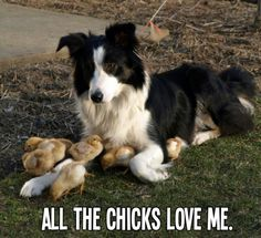 All the chicks love me!