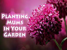 Planting Mums in Your Garden #flower #mums #gardening #horticulture