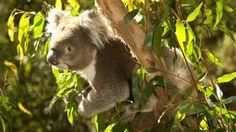 Healesville Sanctuary in Victoria, Australia.  Up close koalas, kangaroos, wombats, and more!
