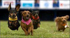 weiner dog races anim, weenie dogs, doxi, dog race, dachshunds, puppi, weiner dogs, wiener dogs, running