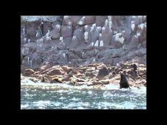 Great video of the friendly sea lions at Los Islotes/Espiritu Santo!