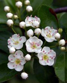 Missouri State Flower - Hawthorne