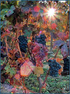 sunlight sunshin, grape thing