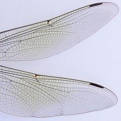 dragonfly wings- engineered by nature