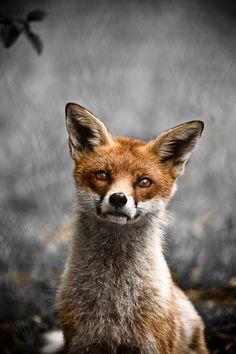 cute fox close up