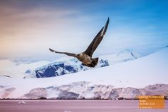 Skua Searching for food in Antarctica