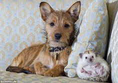 """Special friendships.  """"My tiny spiny pal: Mary the terrier shares the sofa with Mini Hog the African albino pygmy hedgehog"""""""