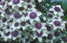 HOW TO TAKE CUTTINGS FROM CLEMATIS