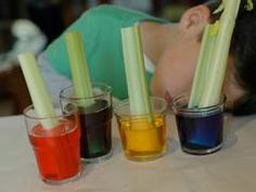 Celery & Food Coloring Experiment. Great website with projects and activities for kids.
