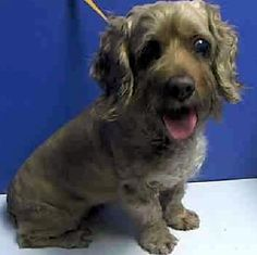 This blind, 8 year old Cocker Spaniel is named Pecan Pie Penny because she's as sweet as pecan pie! She is looking for a forever home. If you are interested in adopting PPP, please read her full bio here: http://www.nyabandonedangels.com/#!pecan-pie-penny/c2077