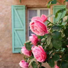 pink cottage roses and teal shutters