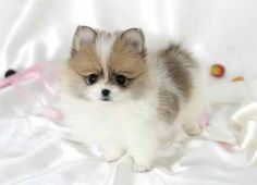 Orange parti Pom pup The darker color on these pom pups generally turns more orange as they shed puppy coat and grow adult coats
