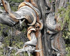 bristlecone pine by Christine Till