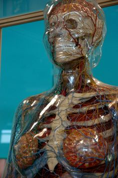 The Transparent Woman was made in Cologne, Germany, after 30 years of research. This model has the correct proportions for a woman 5'7 tall. A woman's body was selected for this exhibit in order to show the organs where conception and birth take place. The skeleton is aluminum, the skin and glands are plastic. Within her are several hundred feet of lighting cable and 30 tiny bulbs, illuminating her organs in anatomically correct position and size.