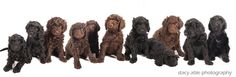 #Barbet puppies (French Water Dogs)