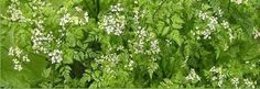 Also known as Gourmet Parsley and Garden Chervil. Can be used as fresh leaves or dried. Store dried leaves in a cool, dry, dark place away from heat light and moisture. Dried chervil will keep for 6 months.