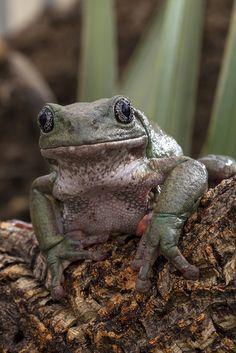 Mossy tree frog