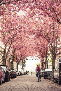 Cherry tree in full bloom, Bonn,  Germany - been here but it was winter and pretty cold- want to go back in the summer!