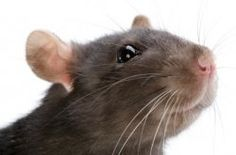 Caring For Pet Rats