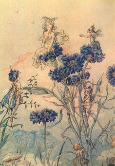 Harold Gaze - Cornflower Fairies