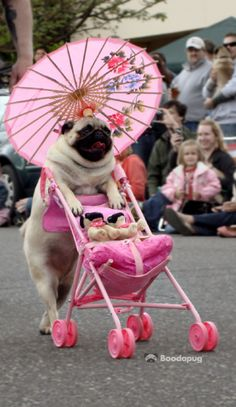 Ain't she just a classy Lady Pug?