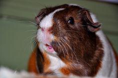 Smiling Guinea Pig by Randi Deuro, via Flickr
