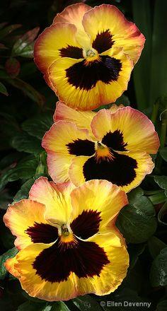 A Row of Pansies yellow pansi