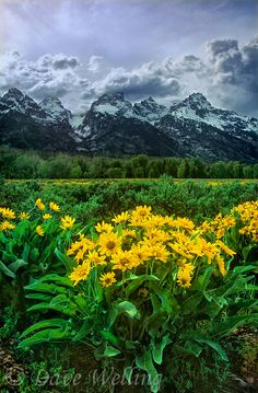 arrowleaf balsamroot wildflowers balsamorhiza sagittata bloom below the stormy teton range in grand tetons national park wyoming by dave welling