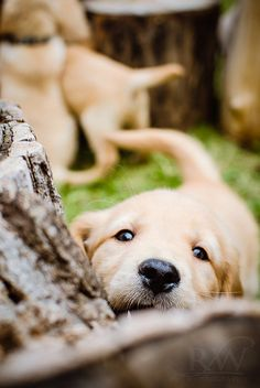 Golden Retriever Puppy. TOO CUTE!