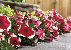 Did the summer heat bake your beds and borders? Replace those fried flowers with perky petunias and other blooming beauties for lots of fall color in your western region garden. We have suggestions for the best autumn annuals for your region-- just click through to The Home Depot's Garden Club.