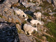Mountain Goats - Kenai Fjords National Park
