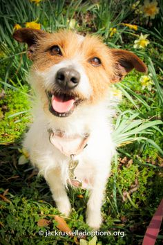 Today's featured Jack Russell rescue for adoption, foster or sponsorship - Diamond!