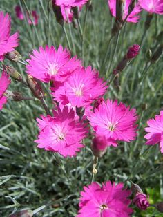 cottage pink dianthus