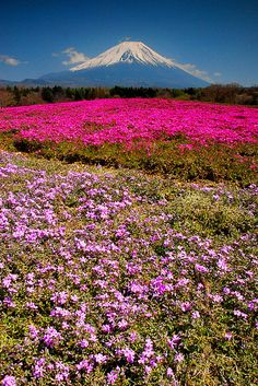 Mount Fuji and flower field, Japan