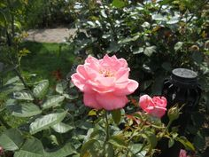 A rose at the Brooklyn Botanical gardens, pictures taken by me.