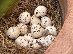 Gambel's Quail eggs