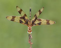 Halloween Pennant Dragonfly, female by asparks306: Named for its orange and brown bands! #Dragonfly
