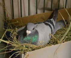Adopt Brooks, a lovely  Other Pet available for adoption at Petango.com.  Brooks is a Pigeon and is available at the @Dane County Humane Society in MADISON, WI